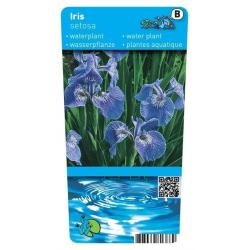 Iris setosa P9