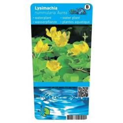 Lysimachia nummularia 'Aurea' ( penningkruid) P9 pot
