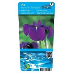 Iris kaempferi 'Variegata' P9