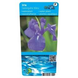 Iris Laevigata Blue P9