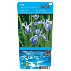 Iris laevigata 'Mottled Beauty' P9