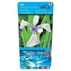 Iris laevigata 'Snowdrift' P9