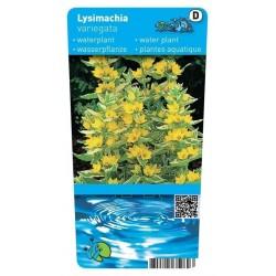 Lysimachia variegata ( bonte moeraswederik) P9 pot