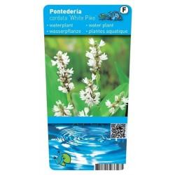 Pontederia cordata white pike ( Witte snoekkruid) P9 Pot