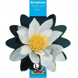 Nymphaea 'Pygmaea Alba' 11x11