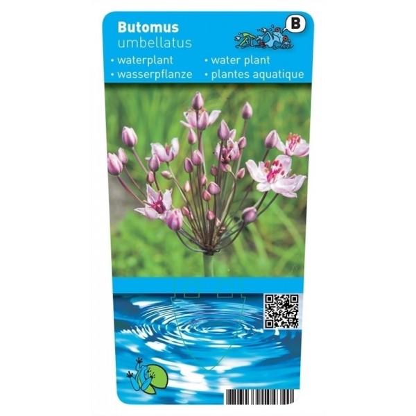 Butomus umballatus P9 10090 Moerings