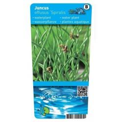 Juncus effusus 'Spiralis' P9